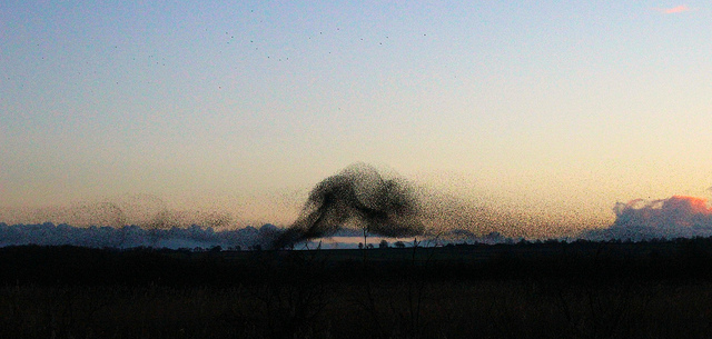 Murmuration Laura Thorn